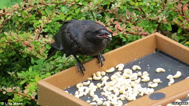 小女孩常餵食烏鴉朋友,烏鴉回禮送給她超過「70件閃亮寶物」!