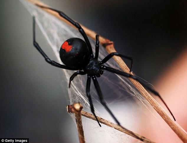 農夫走進車庫的時候,竟看到巨大的紅背蜘蛛正在捕殺一條眼鏡蛇!全都拍下來了!