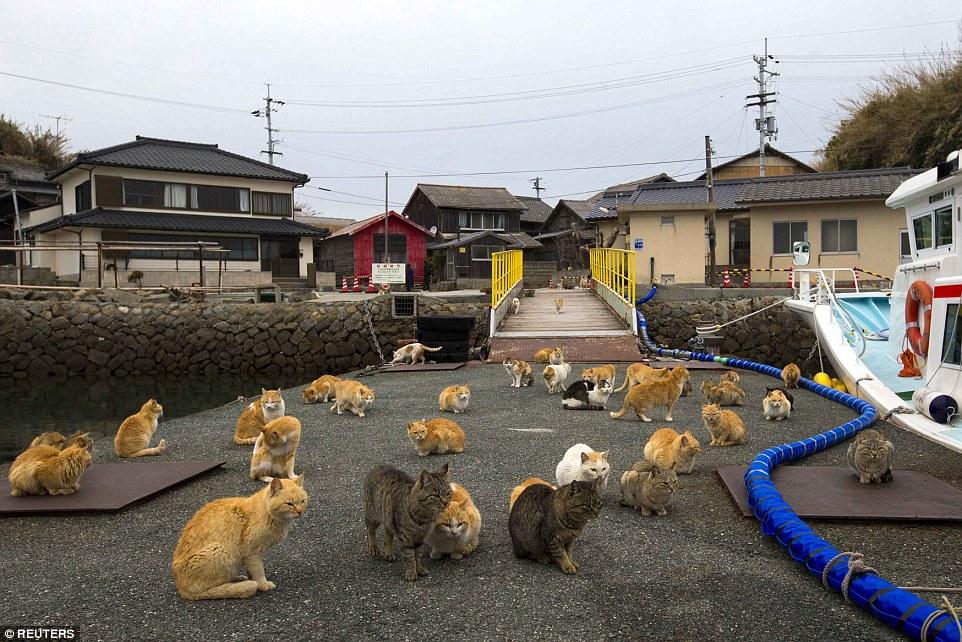 青島的貓也不會太挑,他們會吃遊客身上的飯糰、雜糧棒、或是土豆,而島上也沒有什麼天敵,所以他們堪稱可以稱霸全島。