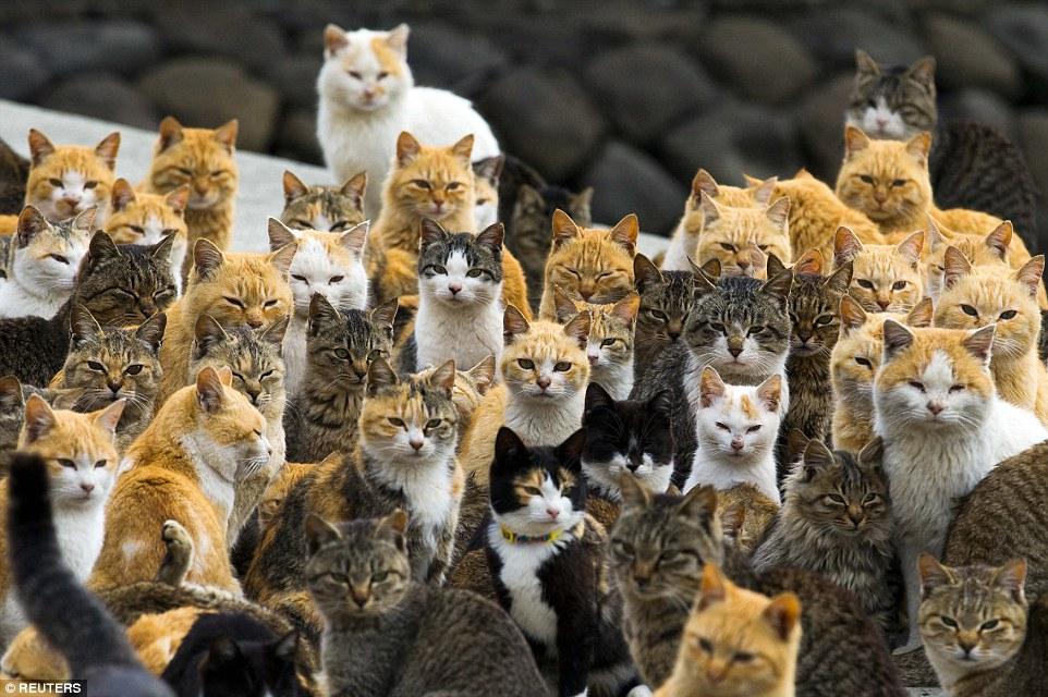 日本青島 (Aoshima),在這個距離愛媛縣 (Ehime) 外海30分鐘船程的小島上,住著超過120隻的野貓,相較起當地的人口,貓跟人的比例可是6比1呀!還住在這裡的人,多半都是沒有到外頭都市打拚的老年人。