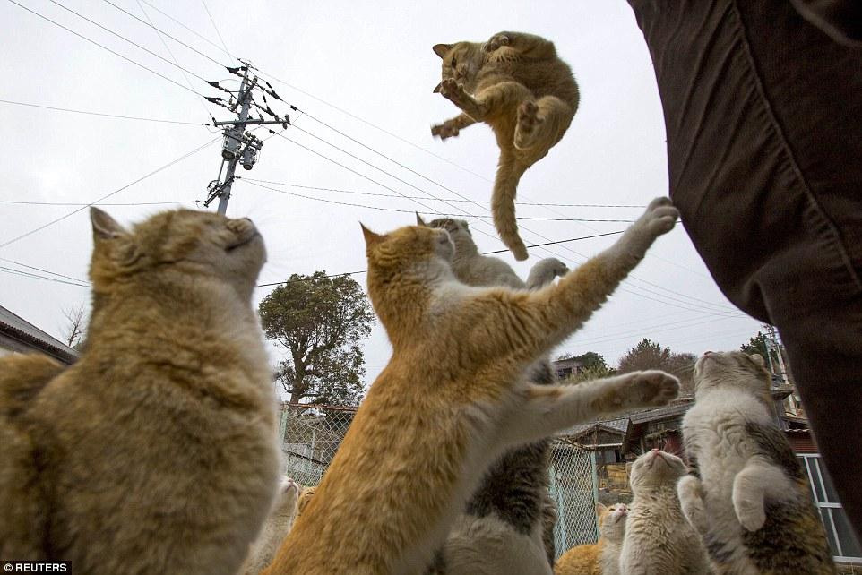 這些貓咪原先是被引進要來解決漁船上大量的老鼠問題,接著,他們就在青島住了下來,並開始大量繁殖。