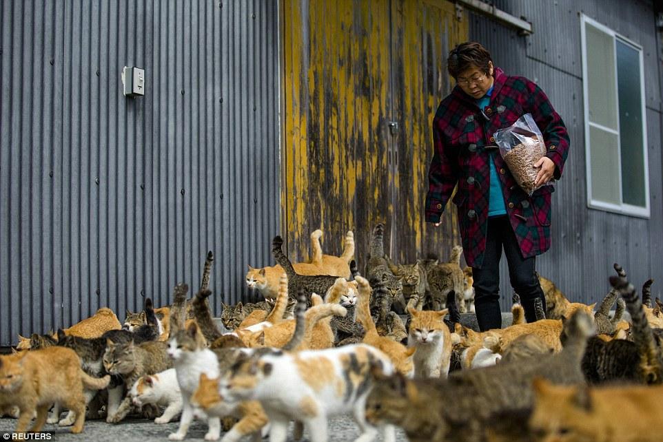 不過青島這裡也沒有車子、商店、或是雜貨店,也並非什麼方便的旅遊地點,但是想必貓奴們光是徜徉在貓海當中,就已經心滿意足了。