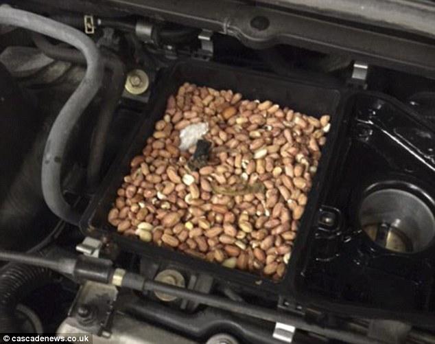 直到他們打開了引擎蓋,才發現原來他們的車子被松鼠擅自當做藏寶箱,默默地暗藏了從鳥飼料盒偷來的上百顆堅果,就藏在他們的空氣濾網裡頭。