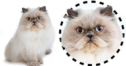 貓咪的性格無法捉摸?貓咪行為學家告訴你貓咪有3種臉型,每一種都有特定的性格。