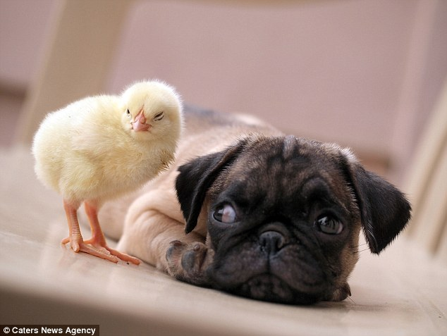On the lookout: Tim Ho, the owner of Fugly the pug, took the series of adorable pictures