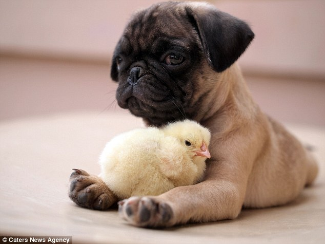 Cute: Fugly the pug protectively places his paws around KFC as the two relax together in the Phillipines