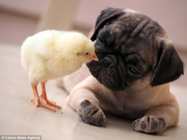 Adorable: KFC the chick plants a peck on Fugly the pug's nose. The two have become inseparable since they were introduced by their owners.