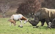 一頭犀牛一步步逼近小羚羊,接著羚羊媽媽做出最勇敢偉大的舉動!