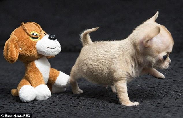 這隻全世界最小的吉娃娃已經3個月大了,卻還能讓你直接放到褲子口袋裡到處帶著走!
