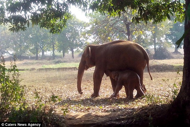 Free: Mother and baby walk alongside after the calf is pulled to safety