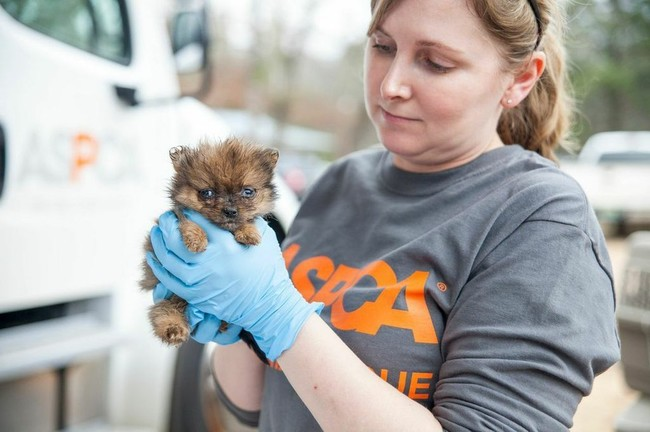 The dogs, mostly Chihuahuas, Yorkshire Terriers, and Pomeranians, were taken to a temporary shelter, set up in an undisclosed location, while the investigation continues.