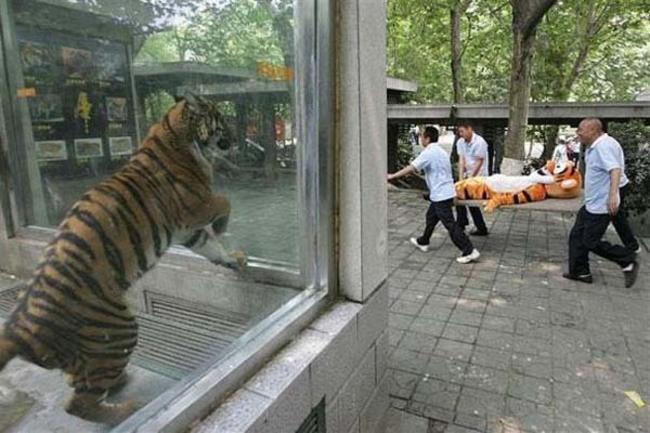 老虎看著玻璃外送醫急救的夥伴...