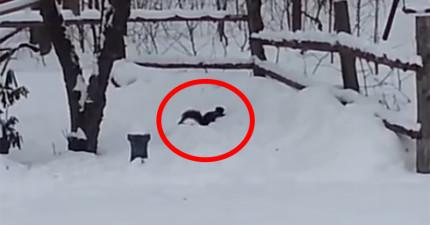這隻小松鼠吃了一顆發酵的野生酸蘋果,醉醺醺在後院做的爆笑事情都被人拍下來了!