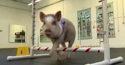 這隻小豬去上狗狗訓練班,結果把她的狗狗同學都打敗了!