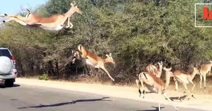 一隻被獵豹追殺的羚羊,情急之下就施展了躲貓貓絕技讓獵豹摸不著頭緒!