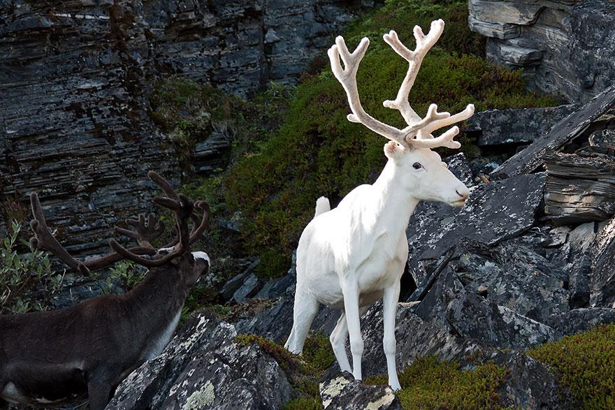 21隻根本就是從神話走出來的蒼白「白化症」神獸