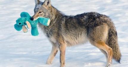 你可能認為狼通常是狡猾又可怕,但只要給他一個布娃娃就會改變你所有的想法!