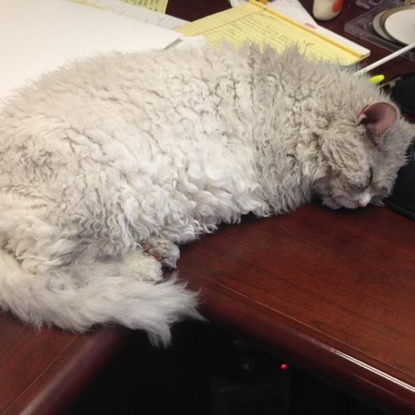 bitchy-resting-face-sheep-cat-albert-11-605x605