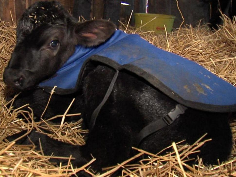 這隻小牛出生就被媽媽丟在冰凍雪地中近乎凍死,牧場主人拯救他的妙招會讓你感到很驚奇!