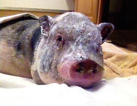 這隻寵物豬奮不顧身衝進火災的家中,差點因此被烤熟的他居然是為了救出貴重的寶物!?