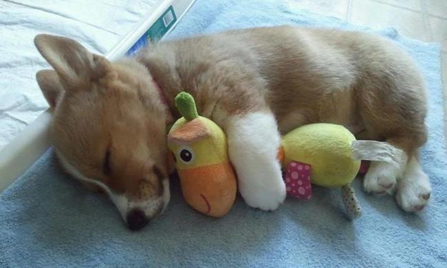 Sleep tight, sweet Corgi.