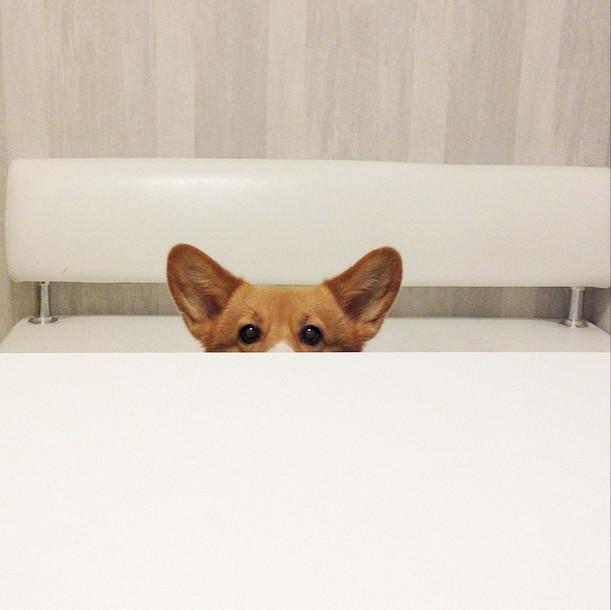26張爆可愛柯基狗狗照片會讓你無法控制臉上的笑容!