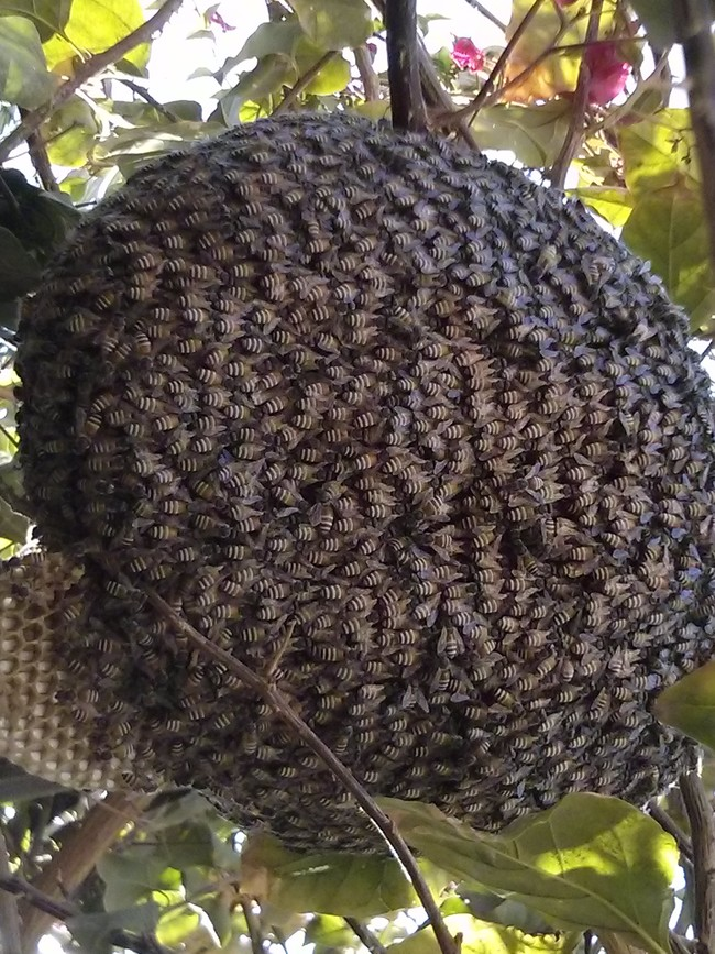A GIANT BEE SWARM!
