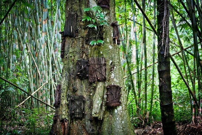 As the tree heals over its hole, it is believed that the baby is absorbed into it, giving it strength.