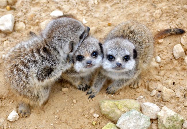 Sure, adult meerkats are cute...