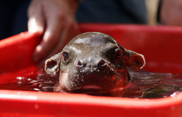 I think I'm in love with this baby hippo.
