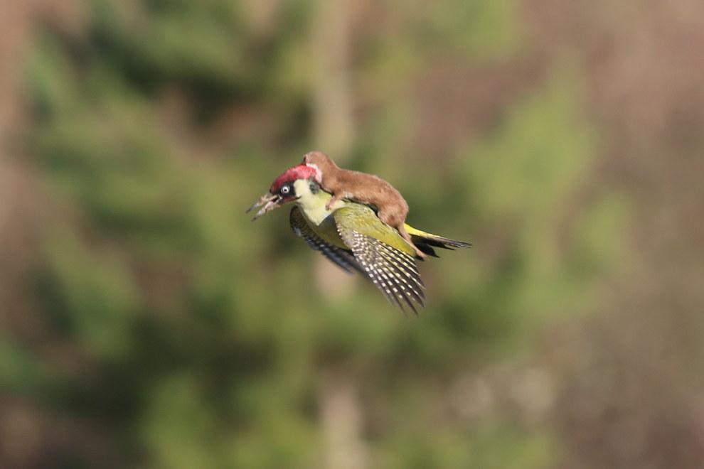 啄木鳥揹著小鼬鼠出現「迪士尼畫面」?專家揭是「活生生食物鏈」