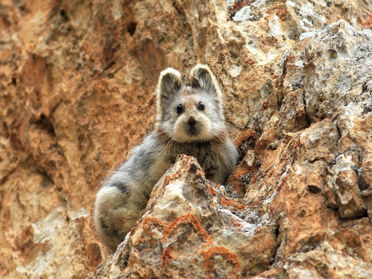 這隻毛茸茸的小可愛可是一隻快要瀕臨絕種的兔子。這種兔子第一次是在1983年被發現蹤跡,自從那之後,就沒有人看過了。直到最近,他在中國天山山脈再次被發現了,而他就住在山脈的懸崖裂縫中。