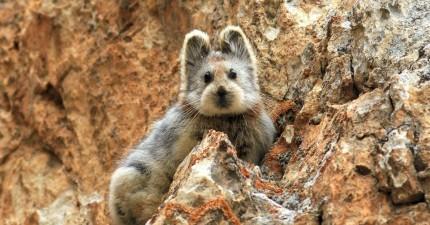 這隻30年來匿跡的瀕臨絕種超萌動物,終於在天山首度被人拍了下來!