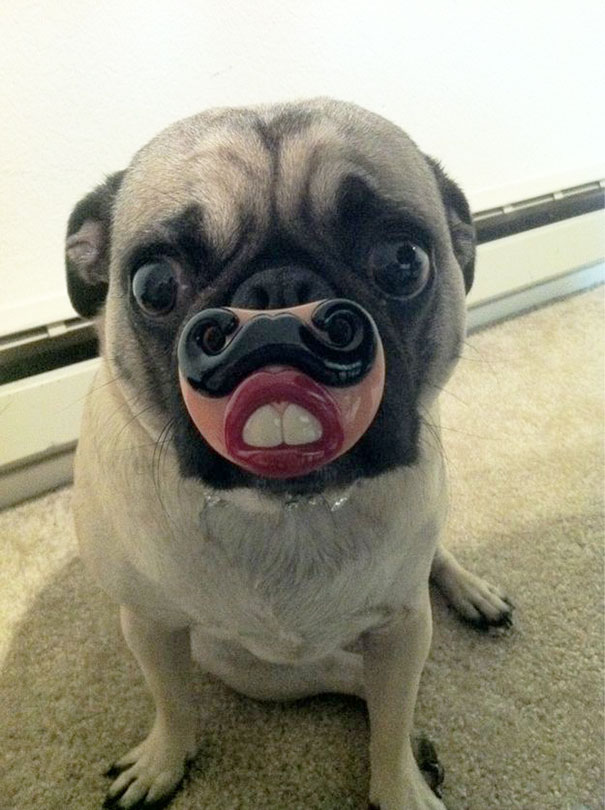 Funny Pug With His Toy