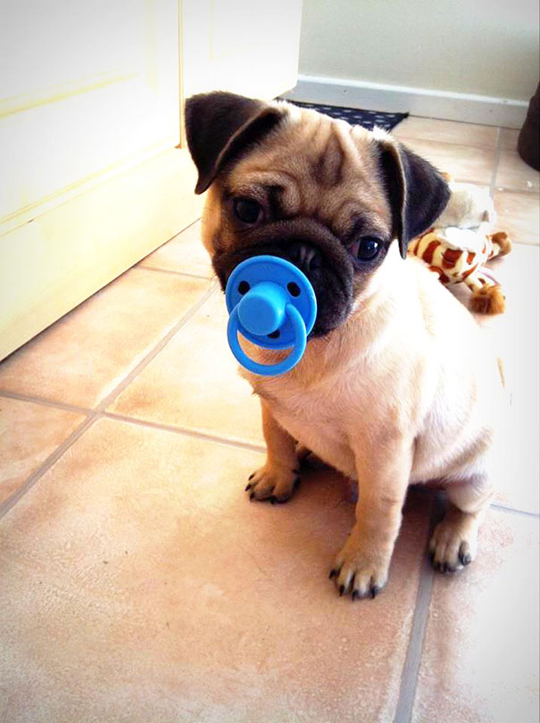 Cut Pug With His Toy