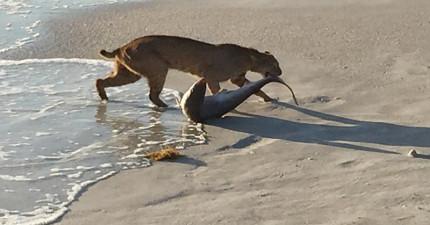 這個人在海邊拍到行蹤罕見的山貓剛出水,嘴裡叼著...?!
