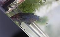這名網友在寵物店裡看到這條快被其他魚咬死的魚決定買回家搶救。過了2個月奇蹟發生了!