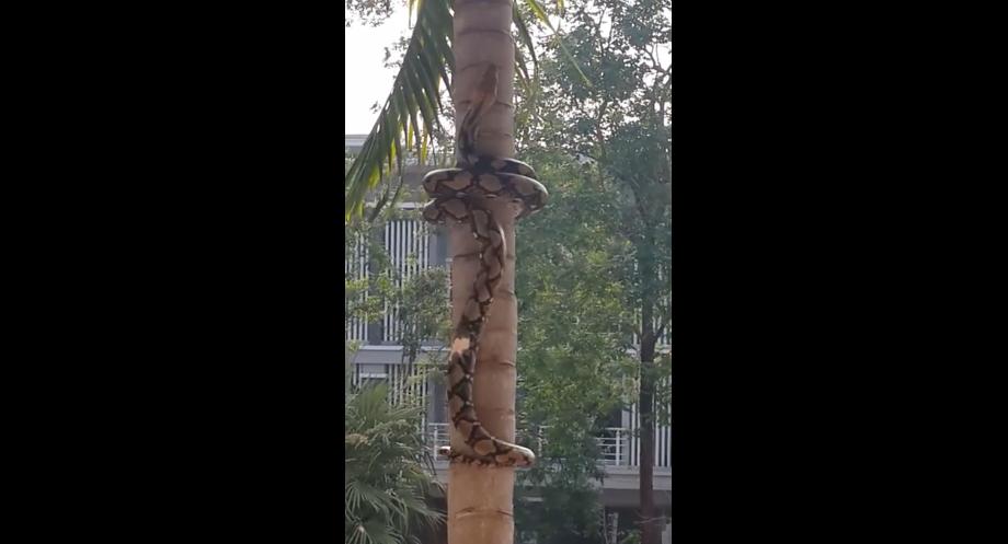 蟒蛇爬樹的模樣真的把我給嚇爆了!我完全沒有想到是這樣爬...爬上去找你!
