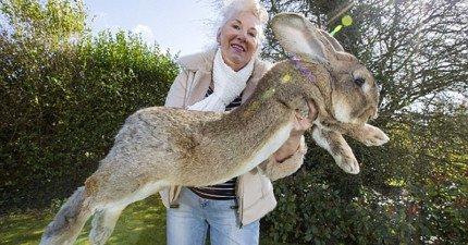 這隻世上最大的兔子,一年食物費用就高達23萬台幣!