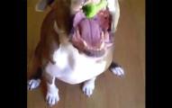 主人一直丟餅乾進狗狗的嘴巴裡,但當偷偷丟花椰菜時,狗狗的神反應到會讓你笑到噎到!