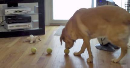 當這隻狗狗一口氣咬了3顆球並抬頭時,我飯都噴出來了。