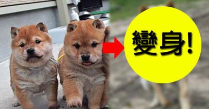 這些可愛的柴犬在冬天就會換毛變身為萌爆「柴犬戰士」!