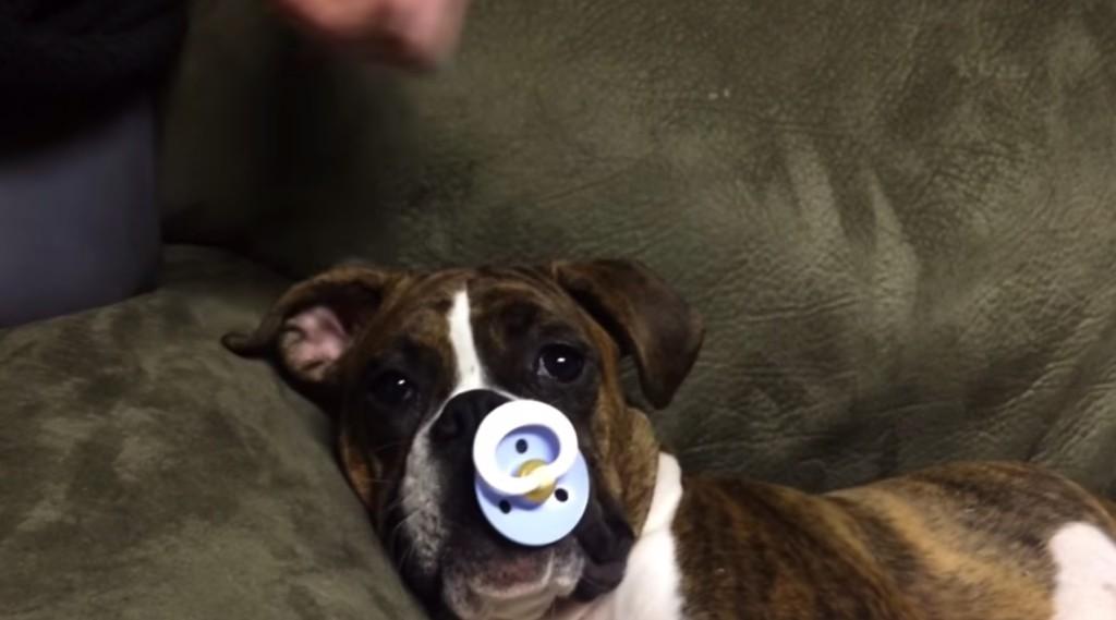 這隻狗狗睡午覺時也太喜歡吸奶嘴了...他最後的反應我有看錯嗎?