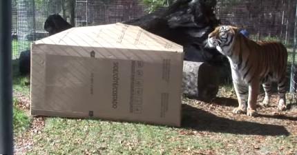 動物園管理員把一個箱子放到籠子裡,想要看看兇猛的老虎的反應會不會跟貓咪一樣...