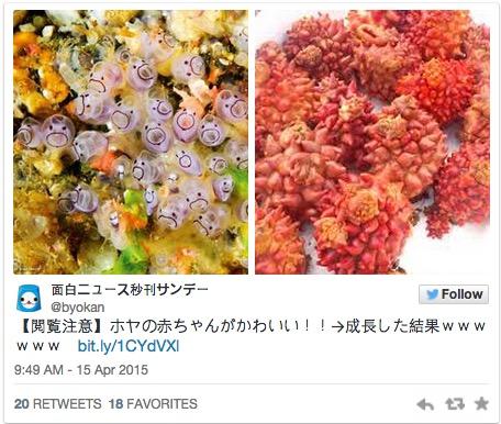 你知道這種俗稱海鳳梨的海鞘,小時候的模樣完全萌到讓人心花怒放嗎?