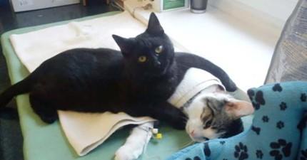 這隻小黑貓被找到時幾乎快死了,但當他復原後他就神奇地開始照顧其他收容所受傷的動物!