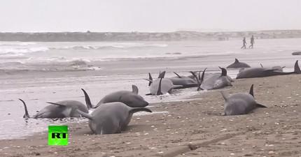 日本海灘驚見160隻海豚集體擱淺,暗示著下一次恐怖天災的腳步?!