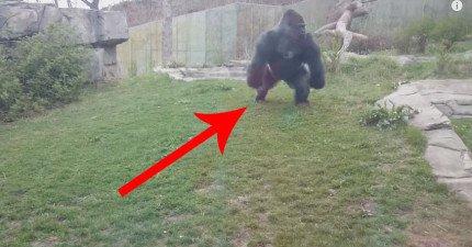 這個小女生在黑猩猩面前捶胸口,猩猩發怒下一秒發生的事情讓我大聲尖叫!