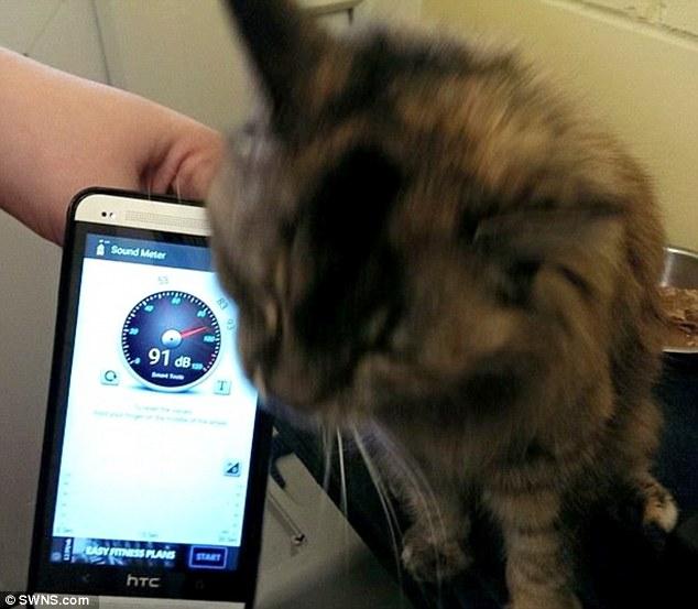 12岁的她,惊人的呼噜声已经比世界最高记录还要更大声了。她现在正在英国剑桥的收容所,等待下一个新主人。那里的工作人员表示,他们从来没有听过呼噜声这么大声的猫咪,所以决定用工具测量一下,没想到竟然高达93分贝之高。