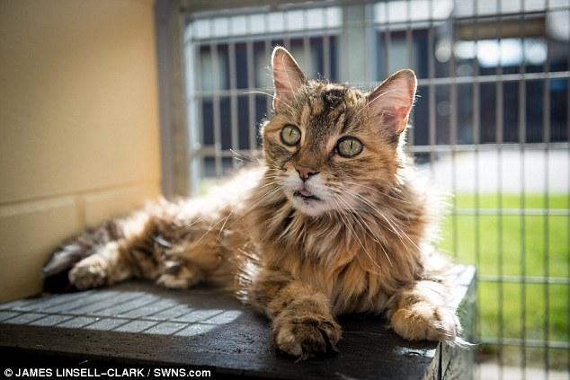 养猫的人都最喜欢听到猫咪的「呼噜声」,这细微的小声音,好像代表着他们很开心、很享受。如果你也喜欢猫咪的呼噜声,那你一定要认识这只呼噜声超大的猫咪小蓝 (Bluey),她的呼噜声可是高达90分贝啊!